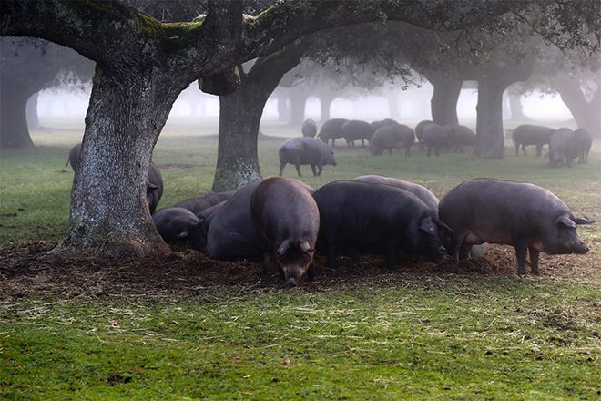 Cerdo ibérico en dehesa